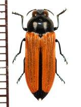 ベニボタル擬態のタマムシの一種 Castiarina paralleipennis オーストラリア