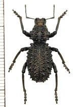 ゾウムシの一種 Acantholophus suttoni オーストラリア