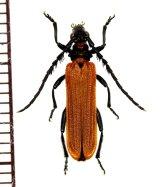 ベニボタル擬態のカミキリムシの一種 Eroschema poweri オーストラリア