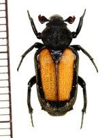 アリノスハナムグリの一種 Clinterocera raui ♂ ラオス