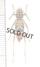 スズメバチ擬態のカミキリムシの一種 Xylotrechus rufobasalis ラオス