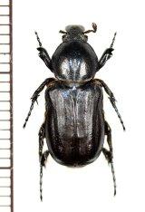 アリノスハナムグリの一種 Coenochilus phongi ♂ ラオス