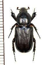 アリノスハナムグリの一種 Coenochilus phongi ♀ ラオス
