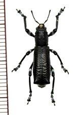 ゾウムシの一種 Aegorhinus nodipennis チリ