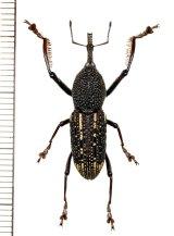 ゾウムシの一種  Curculionidae species   ベトナム(ベトナム中部)