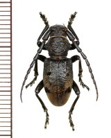 カミキリムシの一種 Herophila tristis ♂ ギリシャ