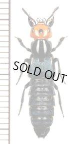 ハネカクシの一種 Staphylinidae species ♂ バヌアツ(エロマンガ島)