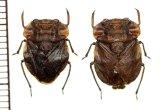 アシブトメミズムシの一種 Nerthra asiatica ペア 中国(チベット自治区)