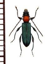 ホタル擬態のカミキリムシの一種  Cerambycidae species ベトナム南部