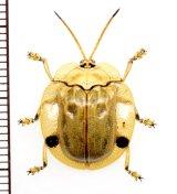 ハムシの一種 Chrysomelidae species  ベトナム北東部