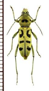 トラカミキリの一種 Clytini species ベトナム中部