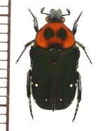 ホソコハナムグリの一種 Glycyphana guadricolor huyghei ベトナム南部