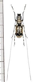 ヒゲナガゾウムシの一種 Anthribidae species ♂ ベトナム北西部