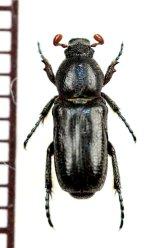 アリノスハナムグリの一種 Aspilus corniger ♂ トーゴ