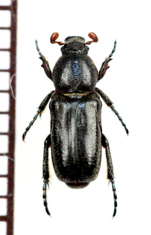 画像1: アリノスハナムグリの一種 Aspilus corniger ♂ トーゴ
