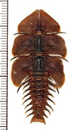 三葉虫型ベニボタルの一種 ♀ Platerodrilus sp. インドネシア(ボルネオ島)