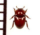 好蟻性カツオブシムシの一種 Thorictus sp. イラン