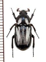 アリノスハナムグリの一種 ♀  Coenochilus sp.  ナミビア