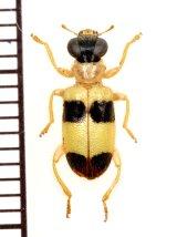 テントウムシ擬態のメダカカッコウムシの一種  Hydnocerinae species ベトナム南部