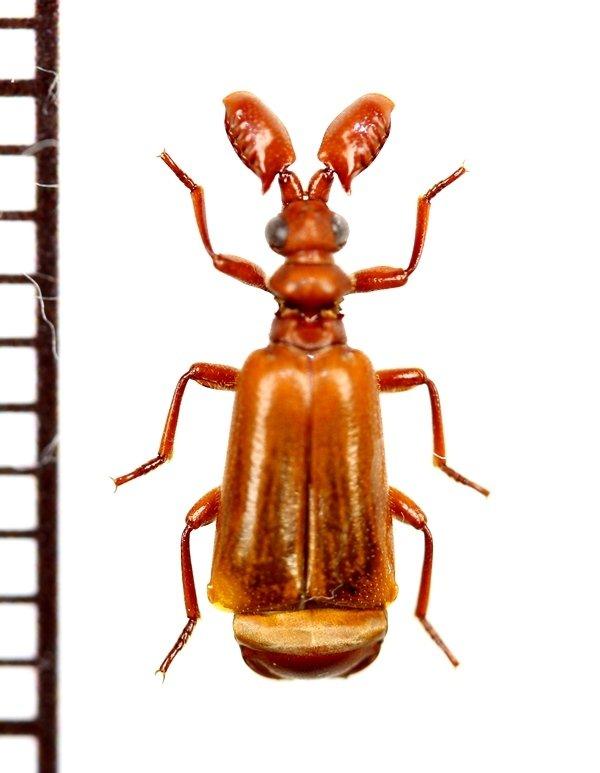 画像1: ヒゲブトオサムシの一種 Paussus sp. 南アフリカ共和国