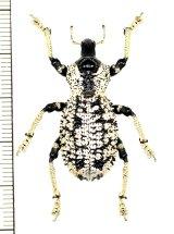 ゾウムシの一種 Rhytidophloeus rothschildi マダガスカル