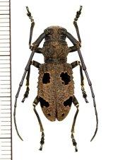カミキリムシの一種 Morimus inaequalis ♀ インド