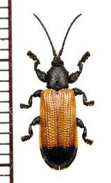 ベニボタル擬態のトゲナシトゲハムシの一種 Hispinae species ソロモン諸島(ガダルカナル島)