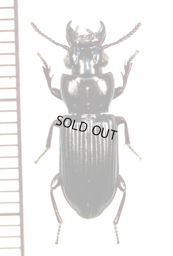 画像1: クチキゴミムシの一種 Morion sp. アンゴラ