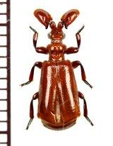 ヒゲブトオサムシ族の一種 Paussus sp. セネガル