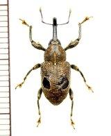 眼状紋を持ったゾウムシの一種 Curculionidae species ペルー