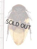 ムカシゴキブリの一種 Ergaula nepalensis ベトナム中部