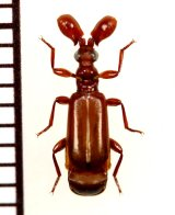 ヒゲブトオサムシ族の一種 Paussus sp. タンザニア
