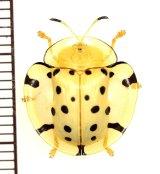 カメノコハムシの一種 Aspidomorpha miliaris タイ