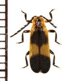 ベニボタルの一種 Lycidae species エクアドル
