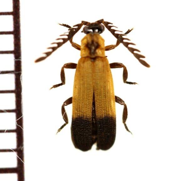 画像1: ベニボタルの一種 Lycidae species 中央アフリカ共和国