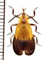 ベニボタルの一種 Lycidae species 中央アフリカ共和国