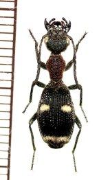 アリバチ擬態のゴミムシの一種 Eccoptoptera cupricollis タンザニア