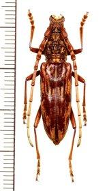 カミキリムシの一種 Aeolesthes sp. ♀ ベトナム北西部