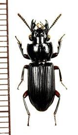 クチキゴミムシの一種 Morion sp. インドネシア(スマトラ島)