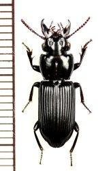 クチキゴミムシの一種 Morion sp. マダガスカル