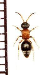 アリバチの一種 Mutillidae species ♀ ロシア