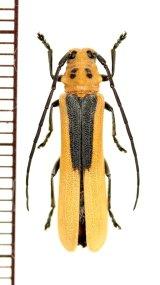 カミキリムシの一種 Linda nigroscutata nigroscutata ベトナム南部