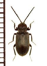好白蟻性のゴミムシダマシの一種 Gonocnemis sp. 南アフリカ