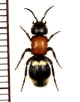 アリバチの一種 Mutillidae species ♀ ウクライナ
