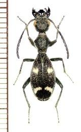 ゴミムシの一種 Eccoptoptera mutilliodes タンザニア