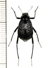 ゴミムシダマシの一種 Adesmia anomala dejeani カザフスタン