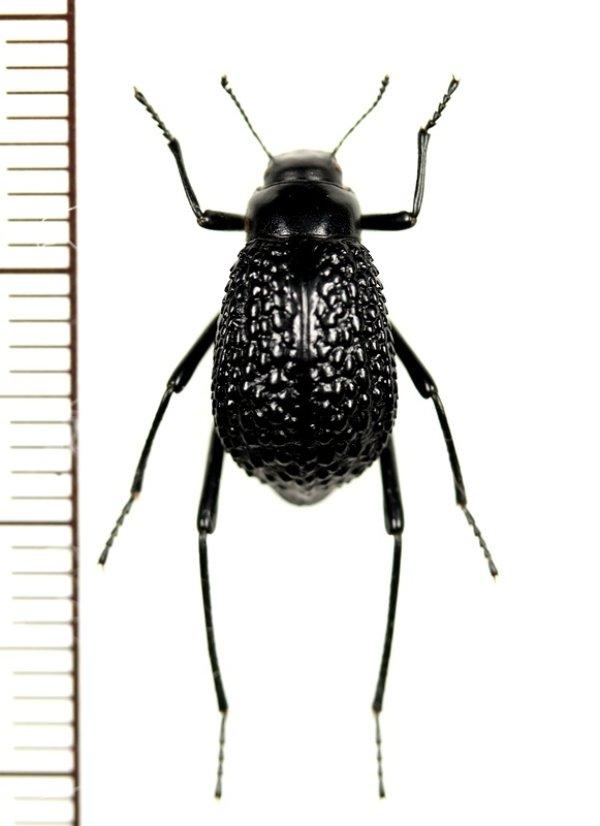 画像1: ゴミムシダマシの一種 Adesmia anomala dejeani カザフスタン