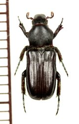 アリノスハナムグリの一種  Plagiochilus crassipes ♀  カメルーン