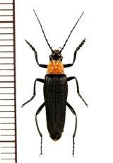 ジョウカイボンの一種 Cantharidae species ♀ ベトナム中部