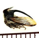 ツノゼミの一種 Membracidae species ♂ ベトナム中部